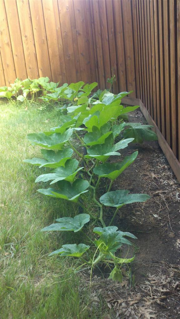 Got some pumpkin vines this year.